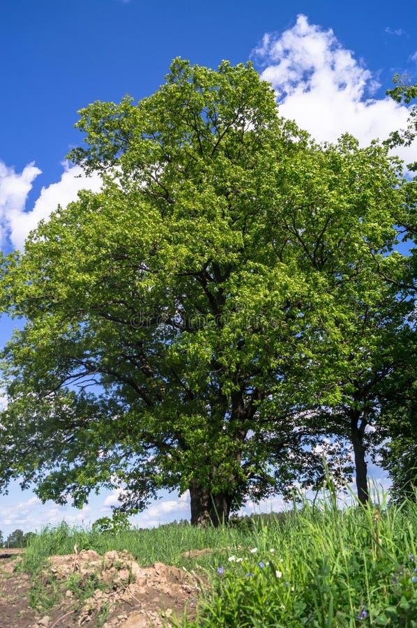 Paysage d'été avec le chêne antique un jour ensoleillé photos libres de droits