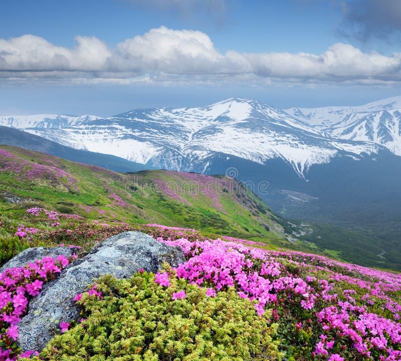 Paysage d'été avec les fleurs roses dans les montagnes photographie stock libre de droits