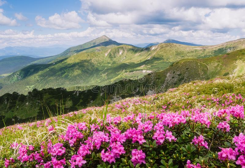 Paysage d'été avec les fleurs roses dans les montagnes images stock