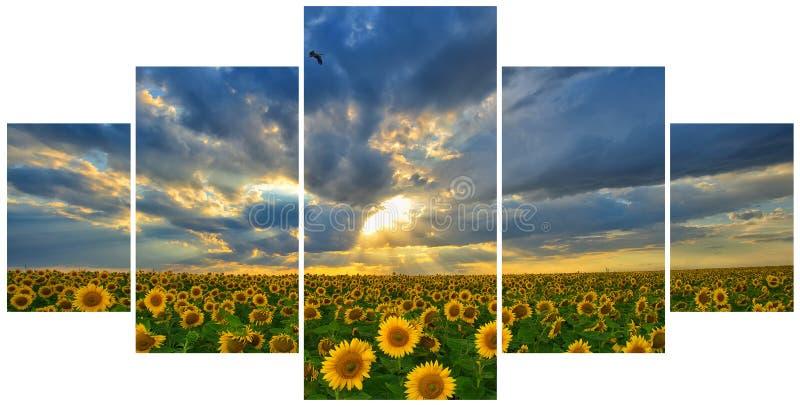 Paysage d'été : coucher du soleil de beauté au-dessus des tournesols photos stock