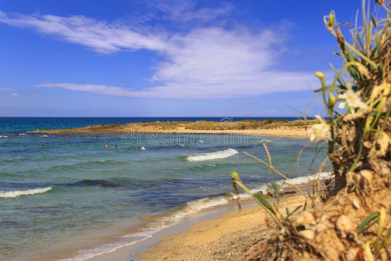 Paysage d'ÉTÉ Réserve naturelle de Torre Guaceto : Maritimum de Pancratium, ou jonquille de mer BRINDISI Pouilles-ITALIE photo libre de droits