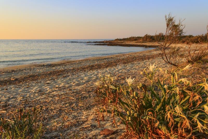 Paysage d'ÉTÉ Réserve naturelle de Torre Guaceto : Maritimum de Pancratium, ou jonquille de mer Maquis Pouilles-ITALIE-méditerran photo libre de droits