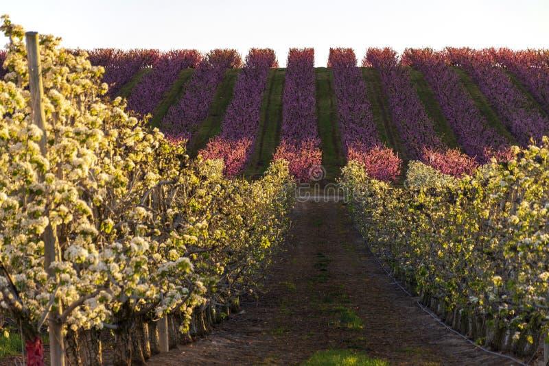 Paysage d'Aitona au coucher du soleil Champ avec des rang?es de p?cher et poiriers en fleur Fleurs roses et blanches Fond naturel image stock