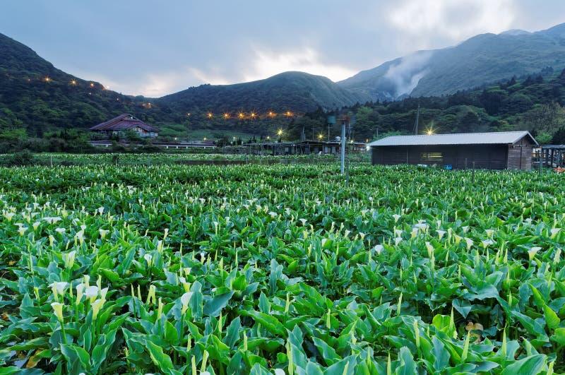 Paysage d'aube d'un gisement de fleur de zantedeschia, une ferme de touristes en parc national de Yangmingshan à Taïpeh suburbain images stock