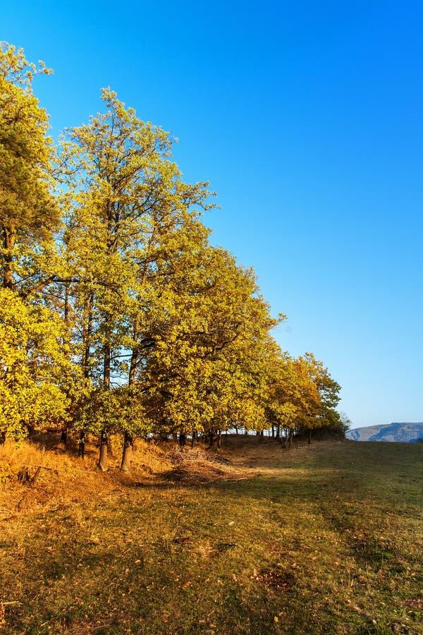 Paysage d'automne avec des chênes Grand chêne d'automne et herbe verte sur un pré autour image libre de droits