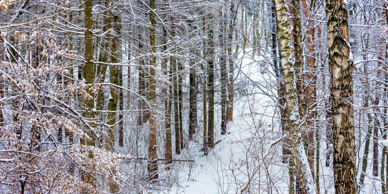 Paysage d'hiver : arbres couverts de neige dans le forest_ photo stock