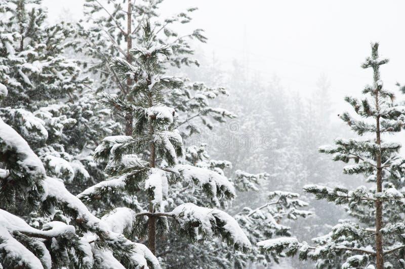 Paysage d'hiver avec une forêt de pin couverte de neige pendant chutes de neige avec les branches d'arbre couvertes de neige dans images libres de droits