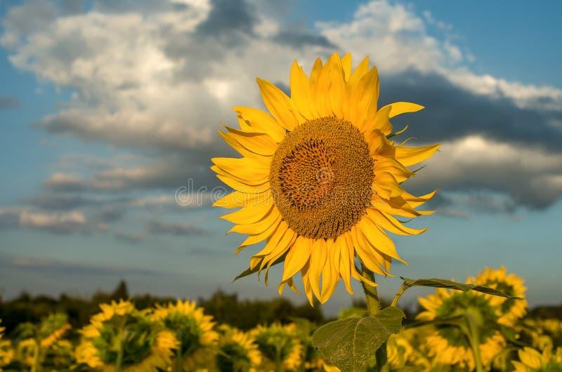 Paysage d'une ferme de tournesol Fleurs de tournesols Zone de Sunflowers image stock