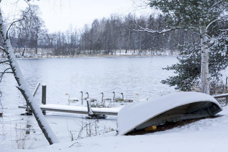 Paysage de calme d'hiver sur une rivière avec cygnes blancs La Finlande, rivière Kymijoki photos libres de droits