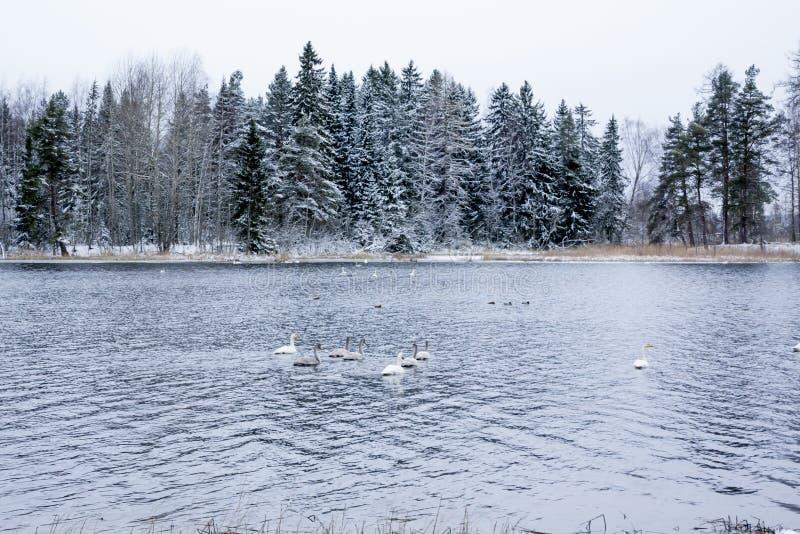 Paysage de calme d'hiver sur une rivière avec cygnes blancs La Finlande, rivière Kymijoki photographie stock libre de droits