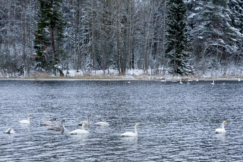 Paysage de calme d'hiver sur une rivière avec cygnes blancs La Finlande, rivière Kymijoki images libres de droits