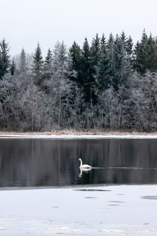 Paysage de calme d'hiver sur une rivière avec un cygne blanc La Finlande, rivière Kymijoki image stock