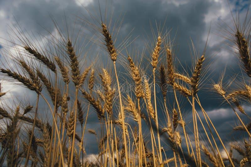 Ce que dit la pluie - Jean Richepin Paysage-de-champ-bl%C3%A9-au-coucher-du-soleil-apr%C3%A8s-pluie-la-d-grain-graine-nourriture-saison-m%C3%BBre-c%C3%A9r%C3%A9ale-pain-r%C3%A9colte-ferme-150497347