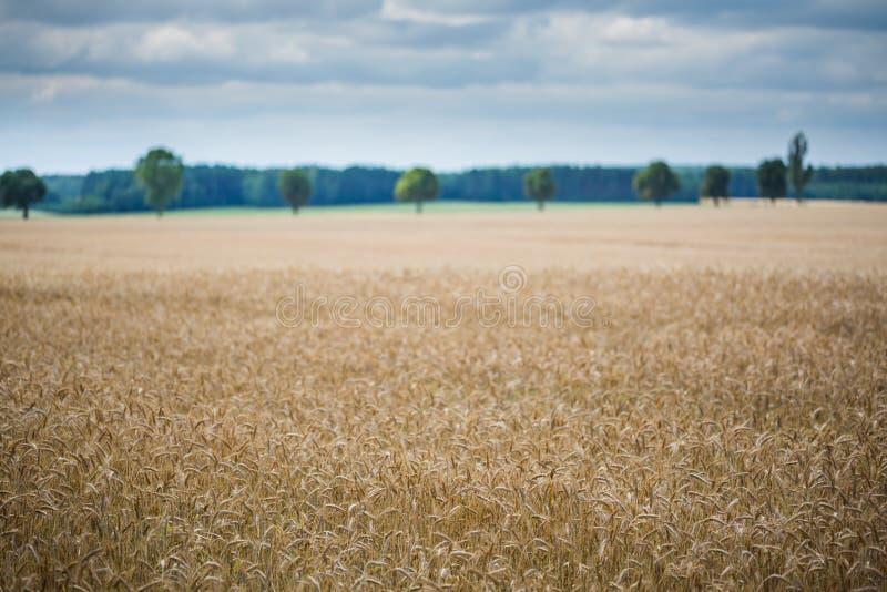 Paysage de champ de maïs photos libres de droits