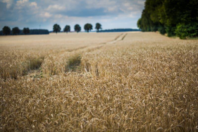 Paysage de champ de maïs image stock