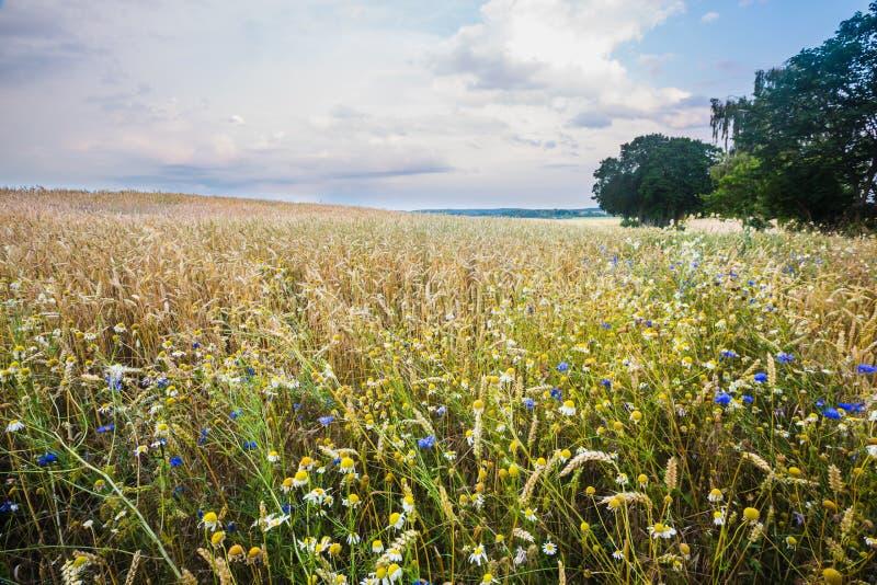Paysage de champ de maïs photographie stock libre de droits