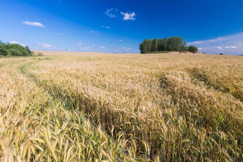 Paysage de champ de maïs photo stock