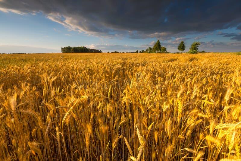 Paysage de champ de maïs au coucher du soleil d'été photo stock