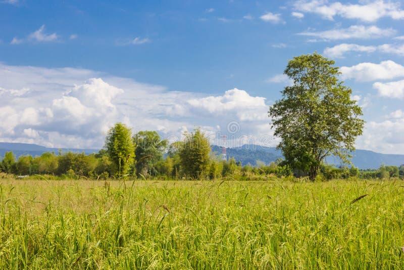 Paysage de champ de maïs de riz de ferme en Thaïlande photo libre de droits