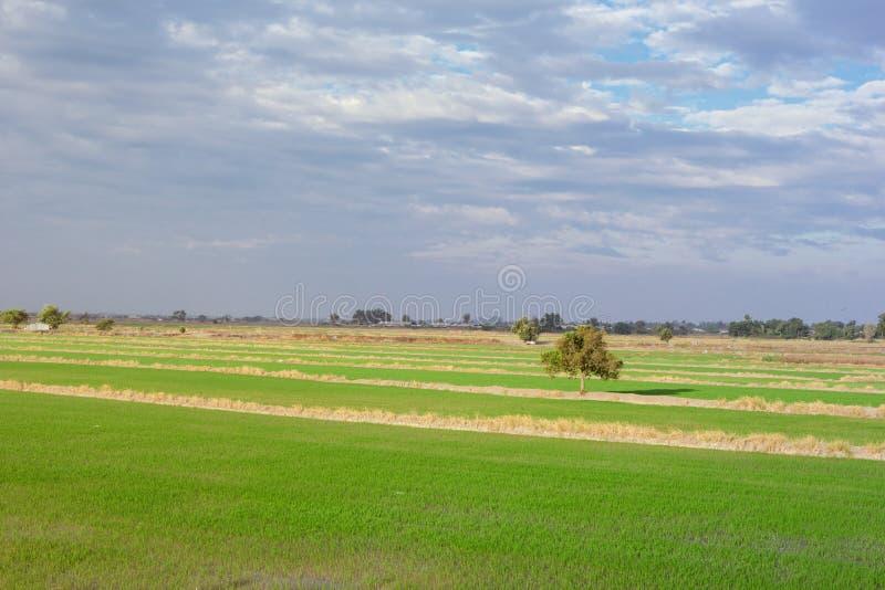 Paysage de champ de maïs de riz de ferme en Thaïlande photo stock