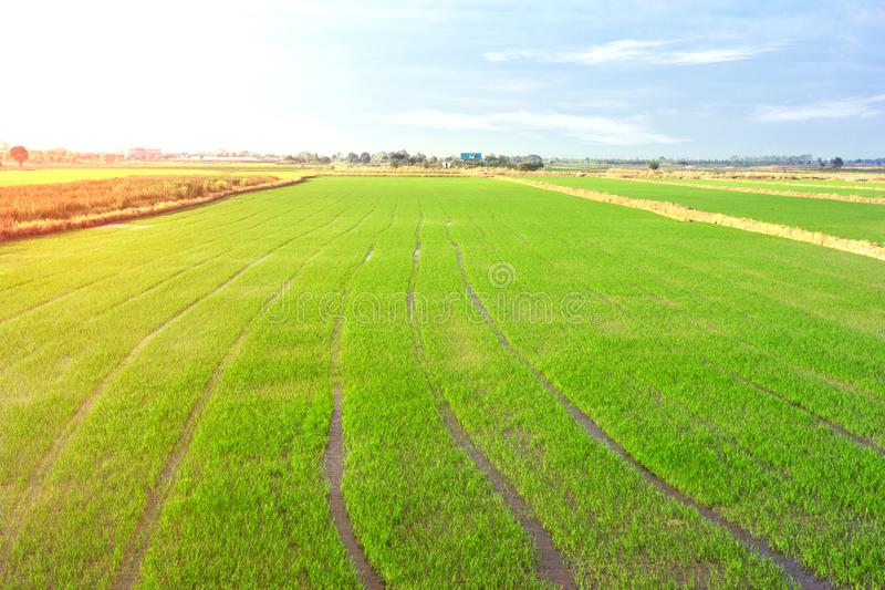 Paysage de champ de maïs de riz de ferme en Thaïlande photos stock