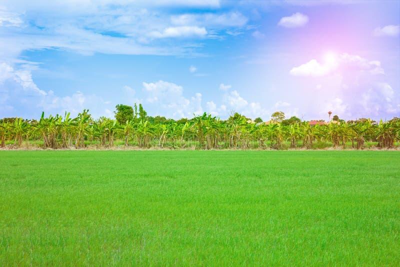 Paysage de champ de ma?s de riz de ferme en Tha?lande photos stock