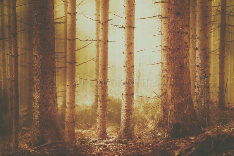 Paysage de couleur orange de forêt d'arbre de conifère photo stock