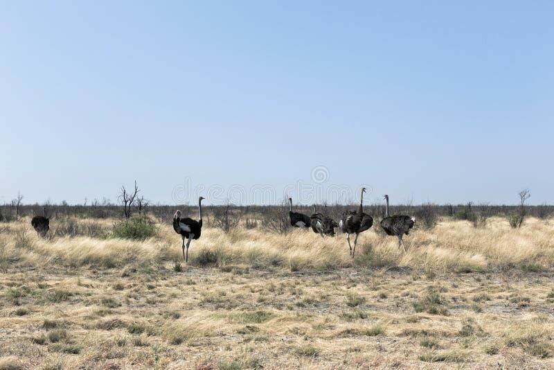 Paysage de désert avec le camelus de Struthio d'autruches, Sossusvlei, image libre de droits
