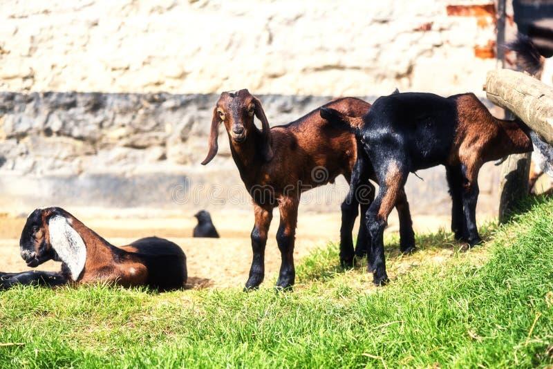 Paysage de ferme avec frôler des chèvres Fond d'agriculture avec a image libre de droits