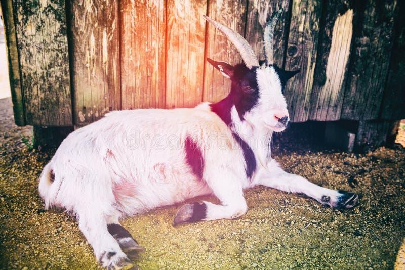 Paysage de ferme avec frôler la chèvre Fond d'agriculture images libres de droits