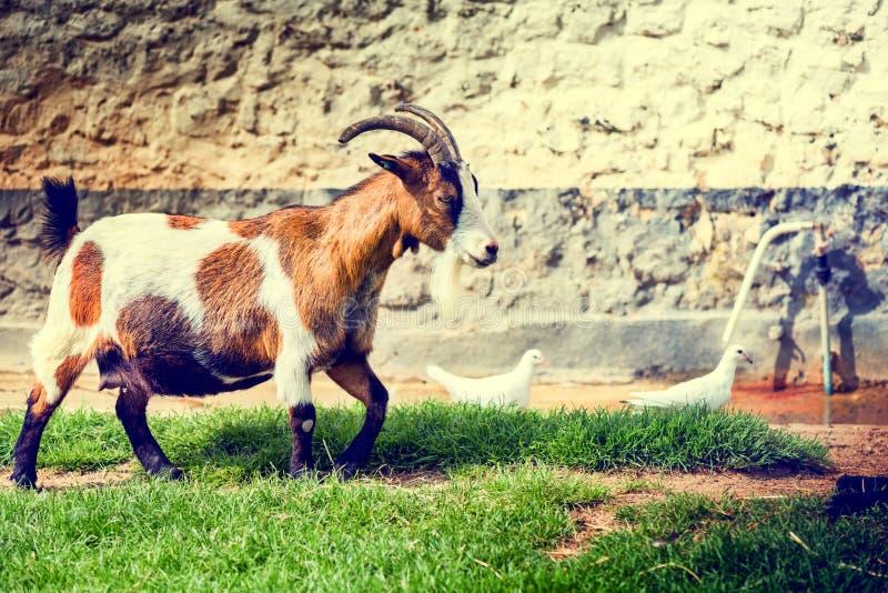 Paysage de ferme avec frôler la chèvre Fond d'agriculture photo stock