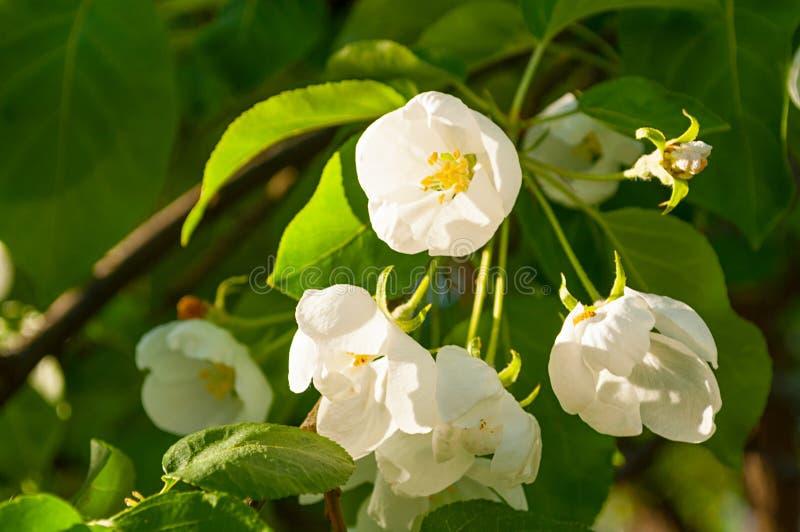 Paysage de fleur de ressort Fleurs de floraison de pomme de ressort Le foyer à la fleur centrale, filtre mou s'est appliqué photo stock