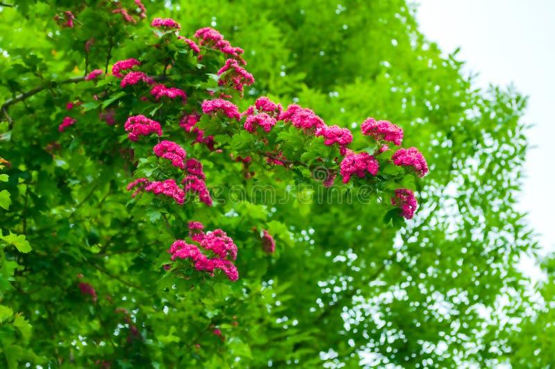 Paysage de fleur de ressort Fleurs de rose d'arbre d'aub?pine, dans crataegus latin Laevigata photos libres de droits