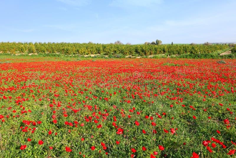 Paysage de floraison rouge de pré photographie stock