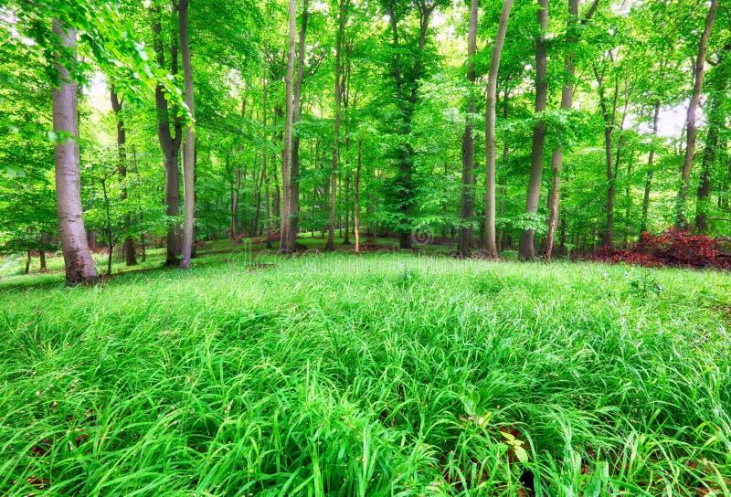 Paysage de forêt avec l'herbe verte et les bois au ressort photographie stock