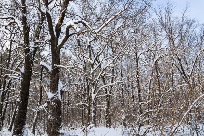 Paysage de forêt d'hiver image libre de droits