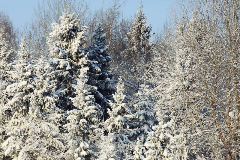 Paysage de forêt de sapin image stock