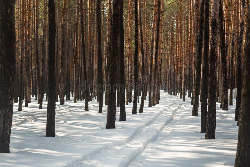 Paysage de forêt de pin d'hiver avec l'ornière dans la neige profonde entre les arbres Voiture ou traces d'ATV dedans après des c photo libre de droits