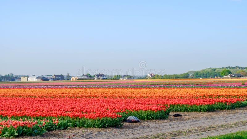 Paysage de gisement de ciel bleu et de tulipe, N?erlandais traditionnel, Pays-Bas, l'Europe photo stock