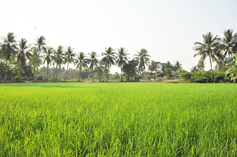 Paysage de gisement de riz avec des arbres de noix de coco photo stock
