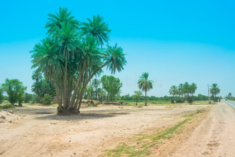 Paysage de groupe de palmiers-dattiers dans un village images libres de droits
