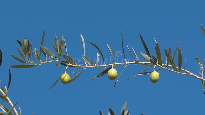 Paysage de la Grèce - Grèce Olive Tree 3 photos stock