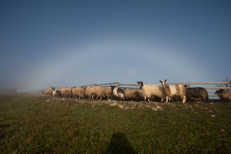 Paysage de la Roumanie avec les moutons et la chèvre dans le temps d'automne à la ferme photo stock