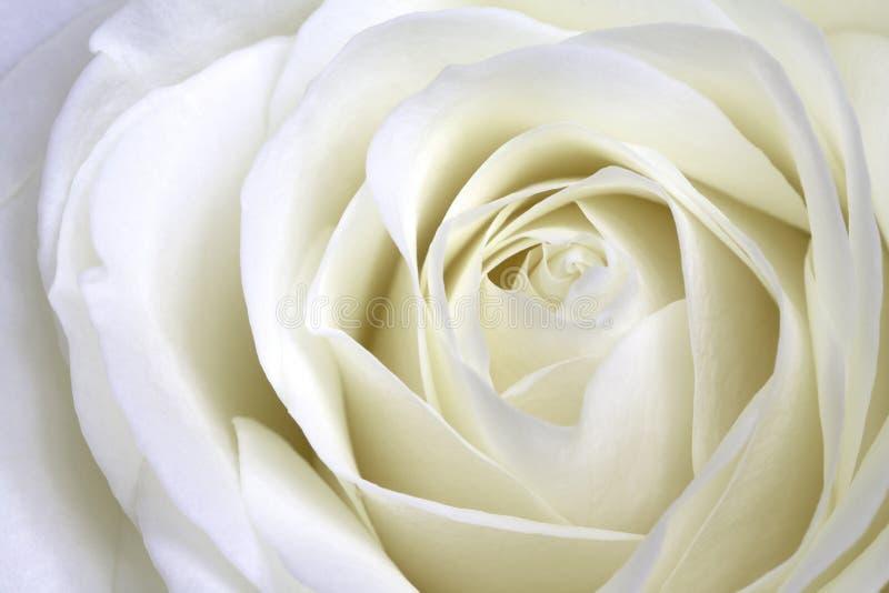 Paysage de macro de rose de blanc photo libre de droits