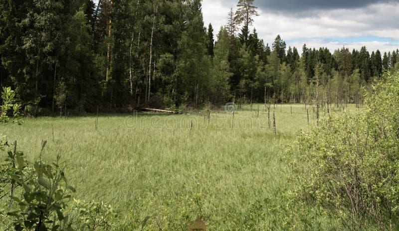 Paysage de marais en Russie en été photo libre de droits