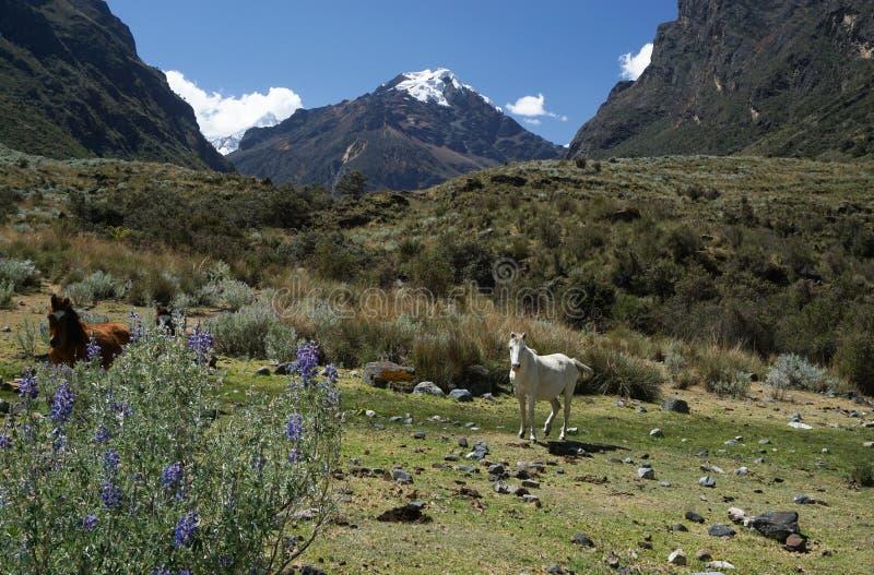 Paysage de montagne avec les chevaux sauvages dans le Blanca de Cordillère dans les Andes du Pérou photographie stock libre de droits