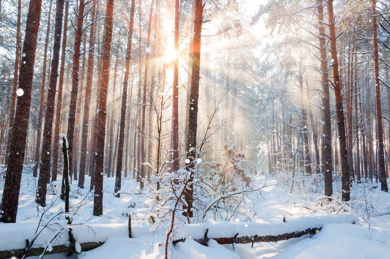 Paysage de montagne d'hiver de matin avec des arbres sur la pente photographie stock