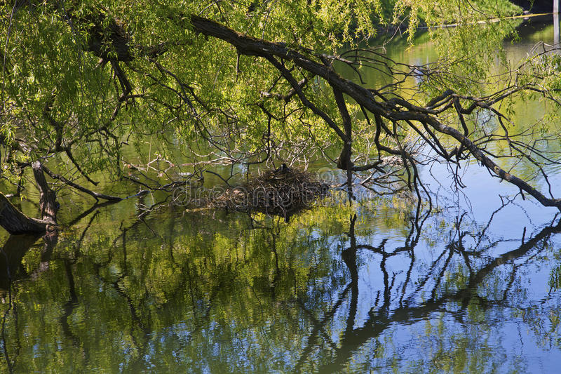 Paysage de nature, branches d'arbre étant perché sur des eaux de rivière photo libre de droits