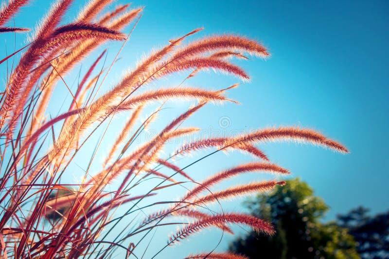 Paysage de nature en été saisonnier, fleur d'herbe dans le pré avec la lumière du soleil et ciel bleu à l'arrière-plan Focu doux photographie stock libre de droits