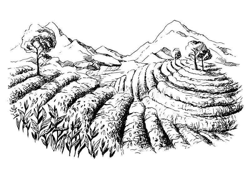 Paysage de plantation de thé illustration stock